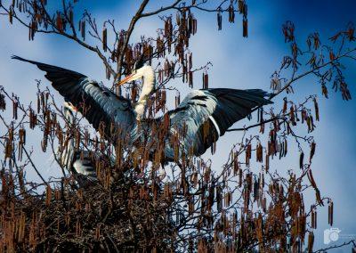 Graureiher beim Nestbau